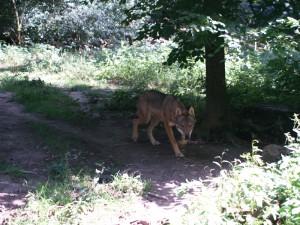 Волки и другие хищники в Вайльбургском парке.